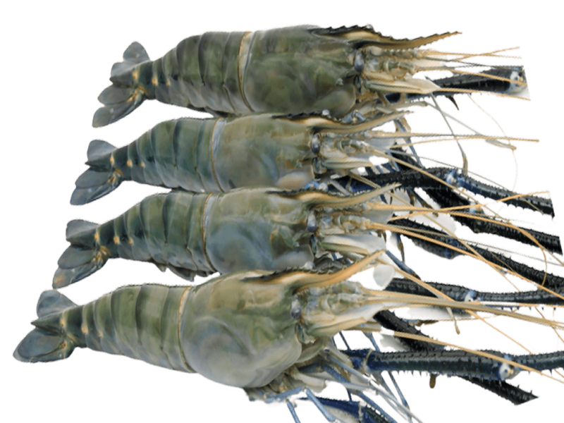 FW Scampi raw Head On IQF